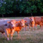 Charlolais koeien